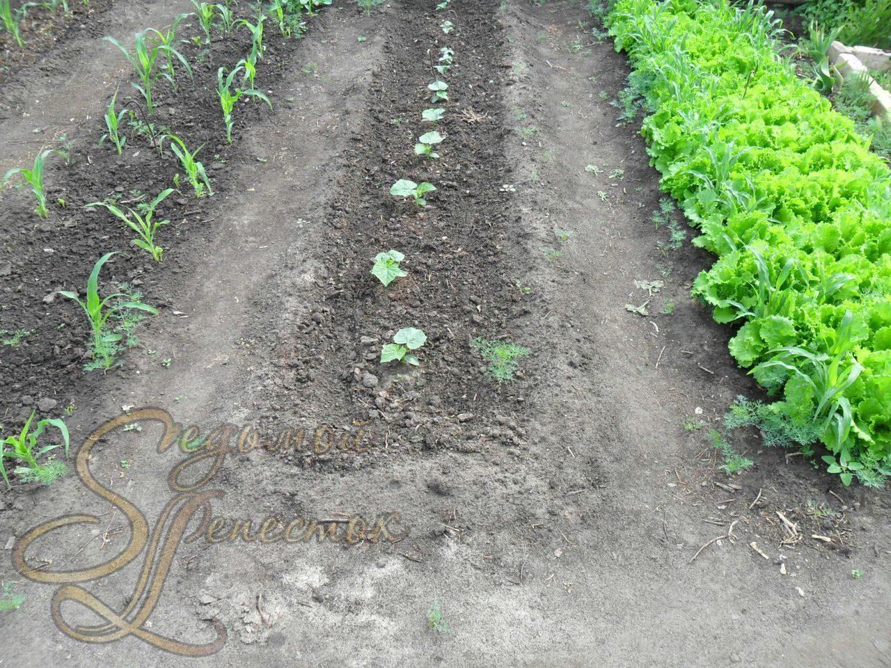 Как сажать огурцы семенами в открытом грунте 82