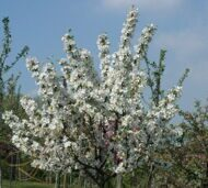"Яблоня (Malus) ""Everest"""