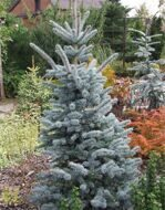 Ель колючая (Picea pungens) «Oldenburg»